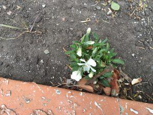 去年のこぼれ種で花壇に自培したパンジーです。がんばってます。