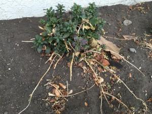 あえて完全に抜かずに去年の秋から置いておいたのですが、越冬して緑のイキイキとした葉が育ってきました。金魚草だったかな? 咲くのが楽しみです。